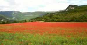 Mohnfeld bei La Rostane