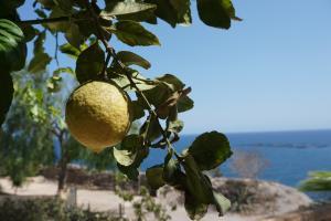 Zitronen aus eigenem Anbau!