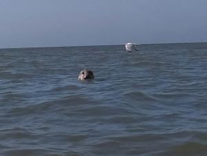 Seehund vor unserer Küste