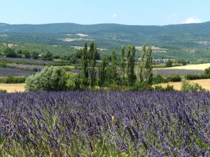 Lavendelfeld bei La Rostane